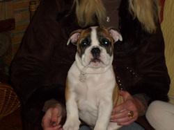 Doudoune, chien Bulldog