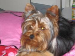 Azur, chien Yorkshire Terrier