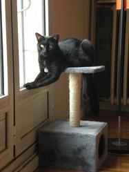 Effy, chat Européen