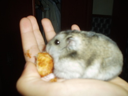 Courgette, rongeur Hamster