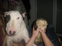 Urban, chien Bull Terrier