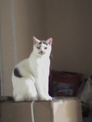 Mélophée, chat Européen