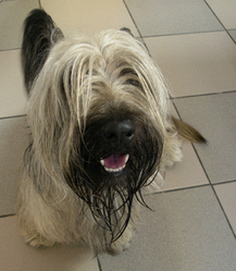 Candy, chien Skye Terrier