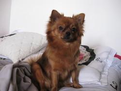 Chanel, chien Spitz allemand