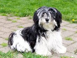 Charly, chien Shih Tzu