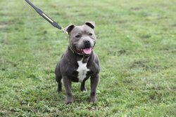 Disco, chien Staffordshire Bull Terrier