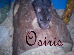 Osiris, rongeur Rat