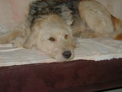 Domino, chien Griffon nivernais