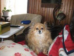 Ti-Mousse, chien Spitz allemand