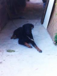 Julio, chien Beauceron