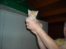 Petit Roux, chat Gouttière