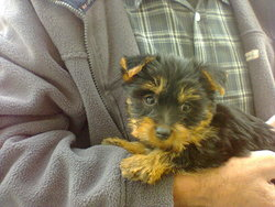 Lady, chien Silky Terrier