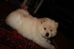 Eden, chien Chow-Chow