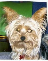 Fanie,Zoé,Mina, chien Yorkshire Terrier