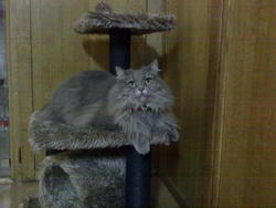Safir, chat Maine Coon