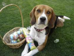Nina, chien Beagle-Harrier