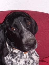 Féroé, chien Braque d'Auvergne