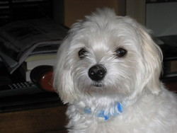 Gamin, chien Bichon maltais