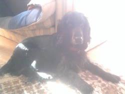 Cindy, chien Cocker anglais