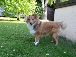 Fabio, chien Berger des Shetland
