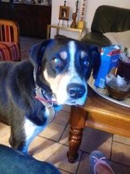 Fabio, chien Bearded Collie