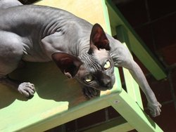 Fabulous, chat Sphynx