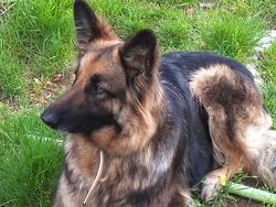 Callya, chien Berger allemand