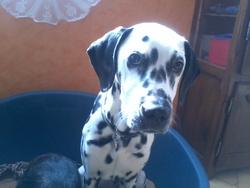 Kiara, chien Dalmatien