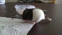 Freya, rongeur Rat