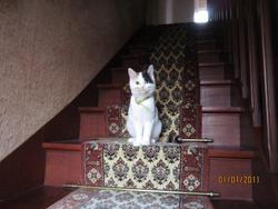 Facétie, chat Européen