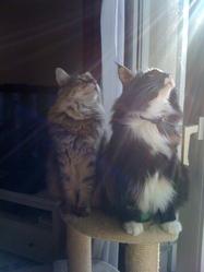 Facétie, chat Norvégien