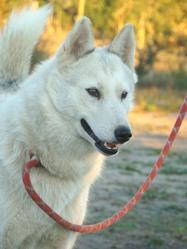 Facette, chien Husky sibérien