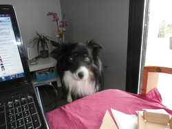 Facom, chien Border Collie