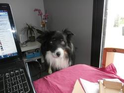 Facom, chien Border Collie