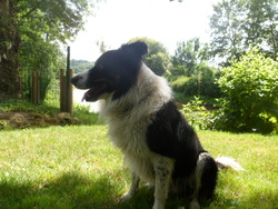 Fado, chien Border Collie