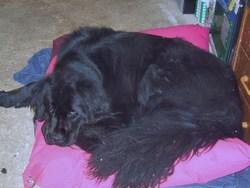 Fadsi, chien Terre-Neuve
