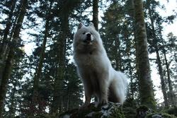 Fael, chien Samoyède