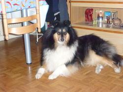 Fagan Black, chien Colley à poil long
