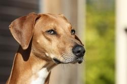 Fahim Kel Az'Amour, chien Azawakh