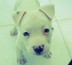 Fahim, chien American Staffordshire Terrier