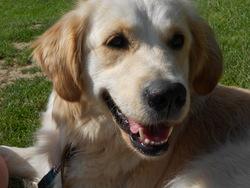 Fahra, chien Golden Retriever