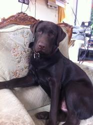Fahreinheit, chien Labrador Retriever