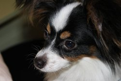 Faika, chien Épagneul nain continental