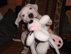 Faika, chien Dogue argentin