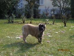 Fairlane De La Grande Alzine , chien Mastiff