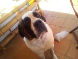Faiza, chien Saint-Bernard