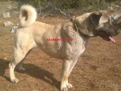 Fajarah Fd4s, chien Berger d'Anatolie