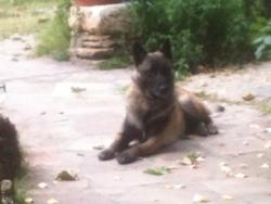 Fakir, chien Berger belge