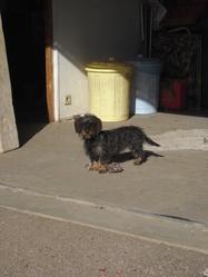 Falabala, chien Teckel