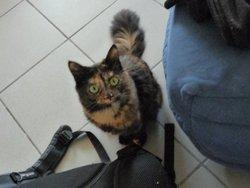 Falafel, chat Angora turc